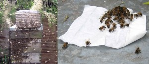 Honeybee-Swarm-Attractant-Wipe